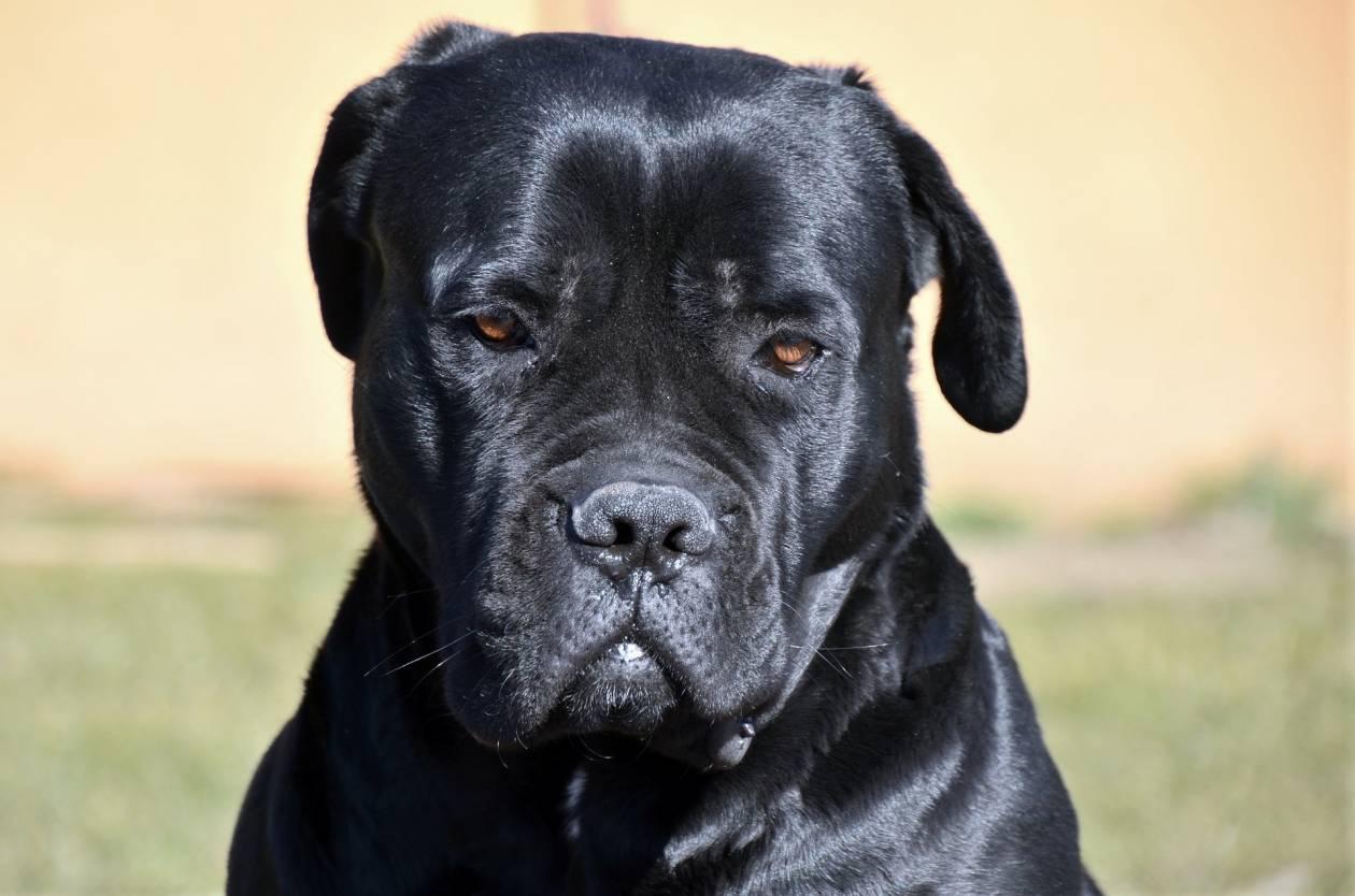 У какой собаки самый сильный укус — сколько атмосфер в этом укусе