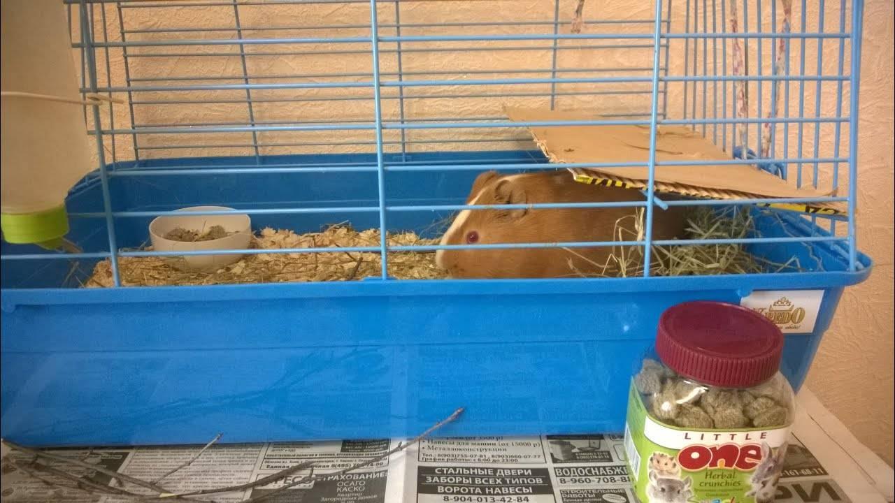 Морская свинка: плюсы и минусы содержания дома и в квартире