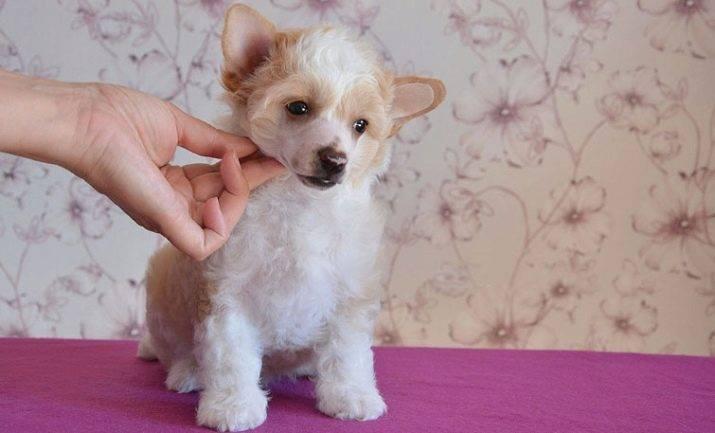 Китайская хохлатая собака – описание и история породы, основные разновидности и рекомендации по содержанию