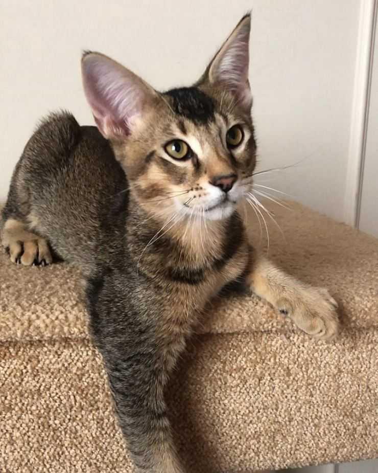 Кошка чаузи (хауси): описание породы, характер, советы по содержанию и уходу, фото