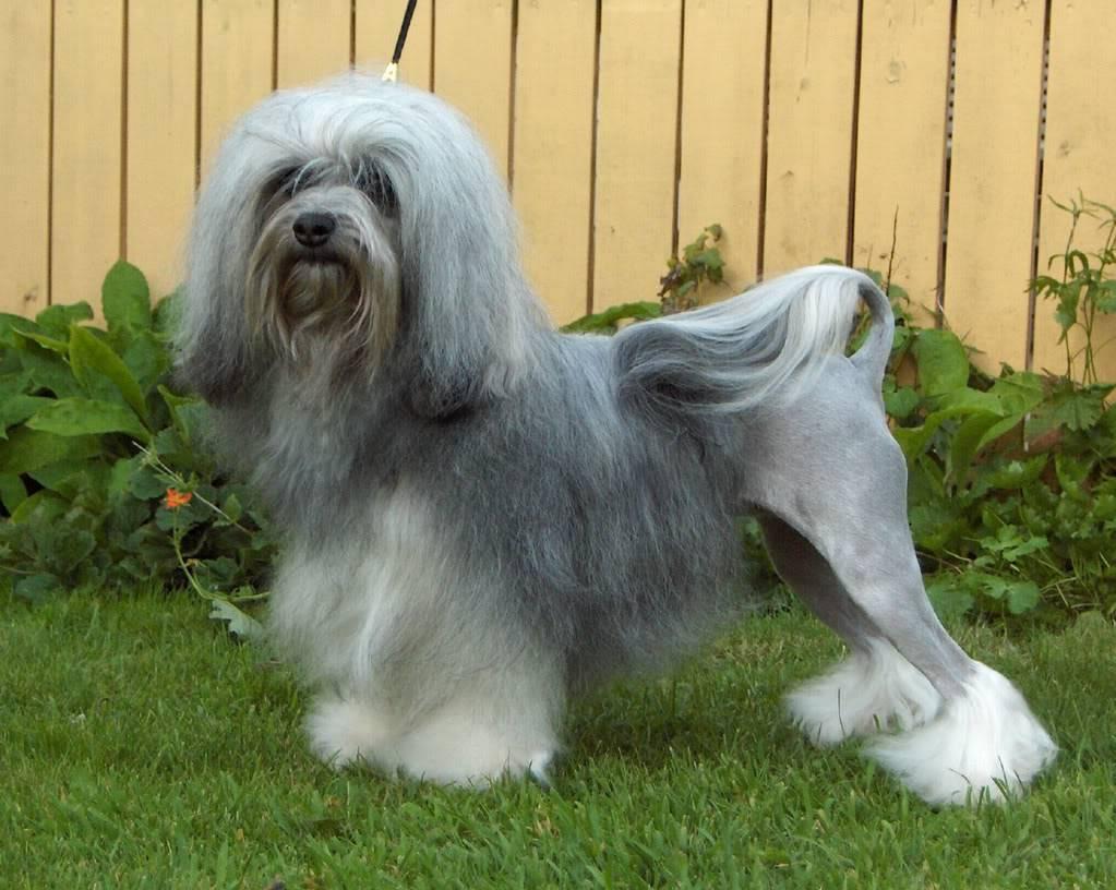 Малая львиная собака: рекомендации по уходу за нежным животным | medeponim.ru