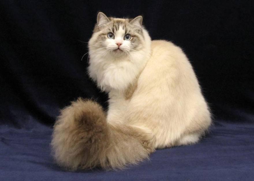 Порода кошек рагамаффин