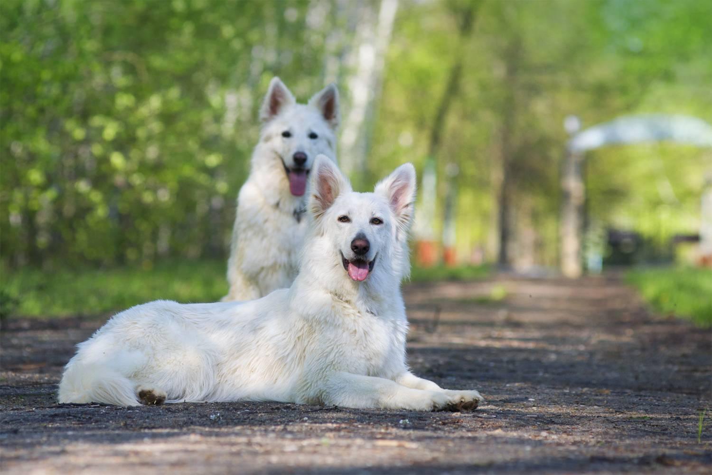 Белая швейцарская овчарка: характеристика породы, описание и фото