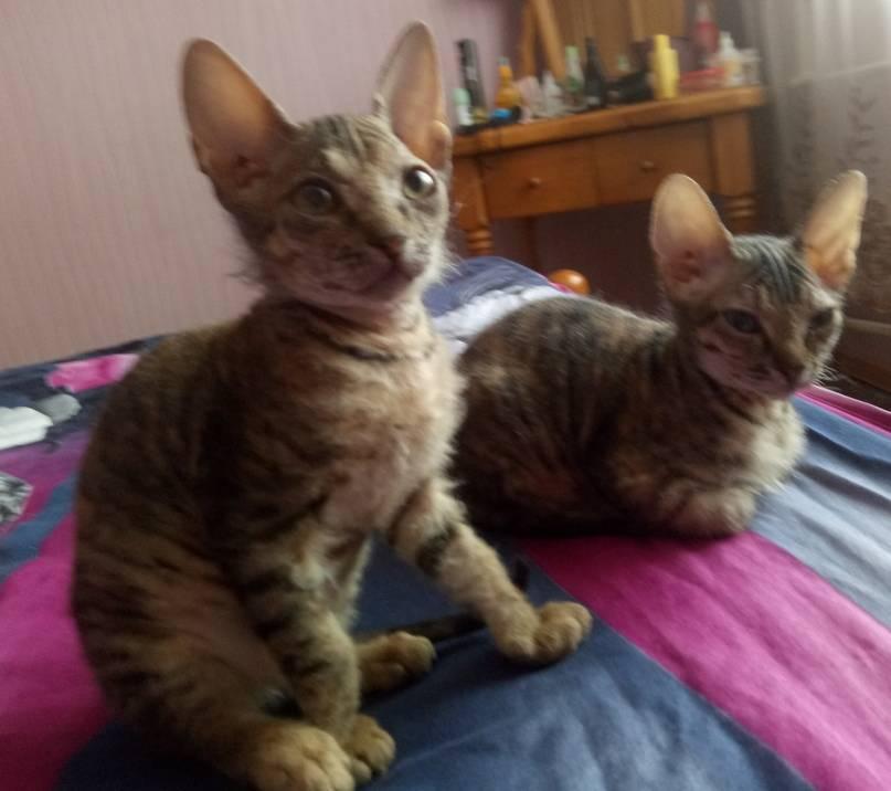 Кошки породы метис: описание и особенности ухода