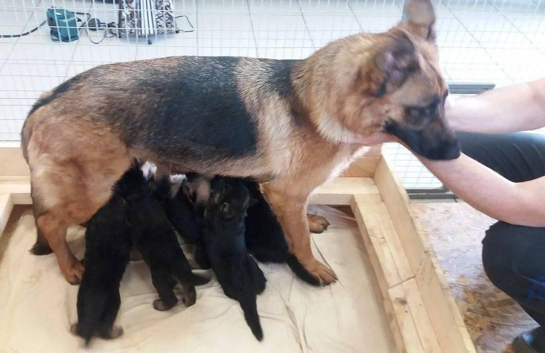 Вязка у собак: все, что нужно знать о деликатном процессе