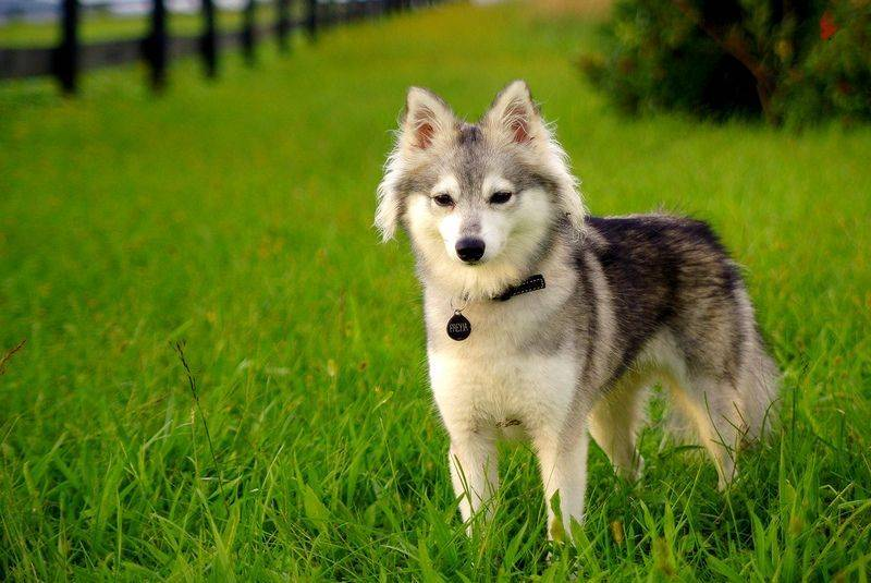 Аляскинский кли-кай (мини-хаски) – описание породы с фото
