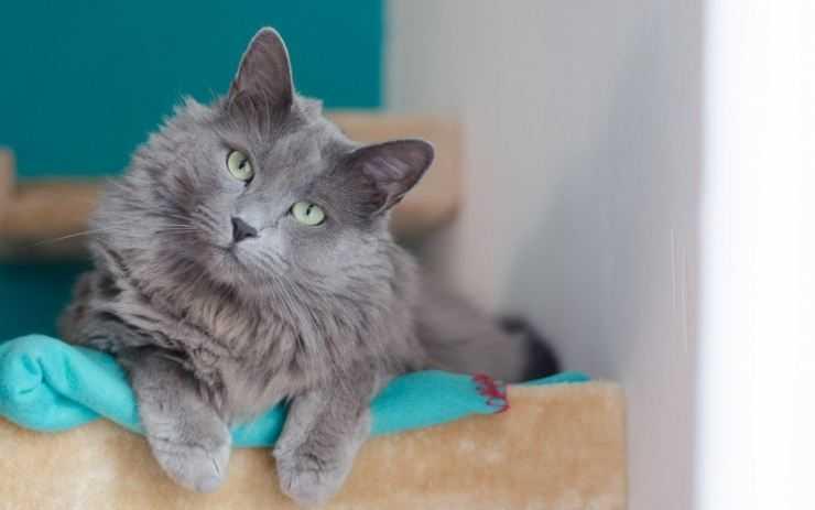 Нибелунг: порода кошек, описание, отличительные черты, характер, фото и цена
