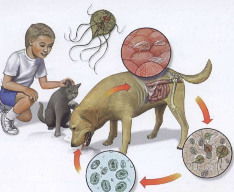Лямблии у кошек: симптомы и лечение
