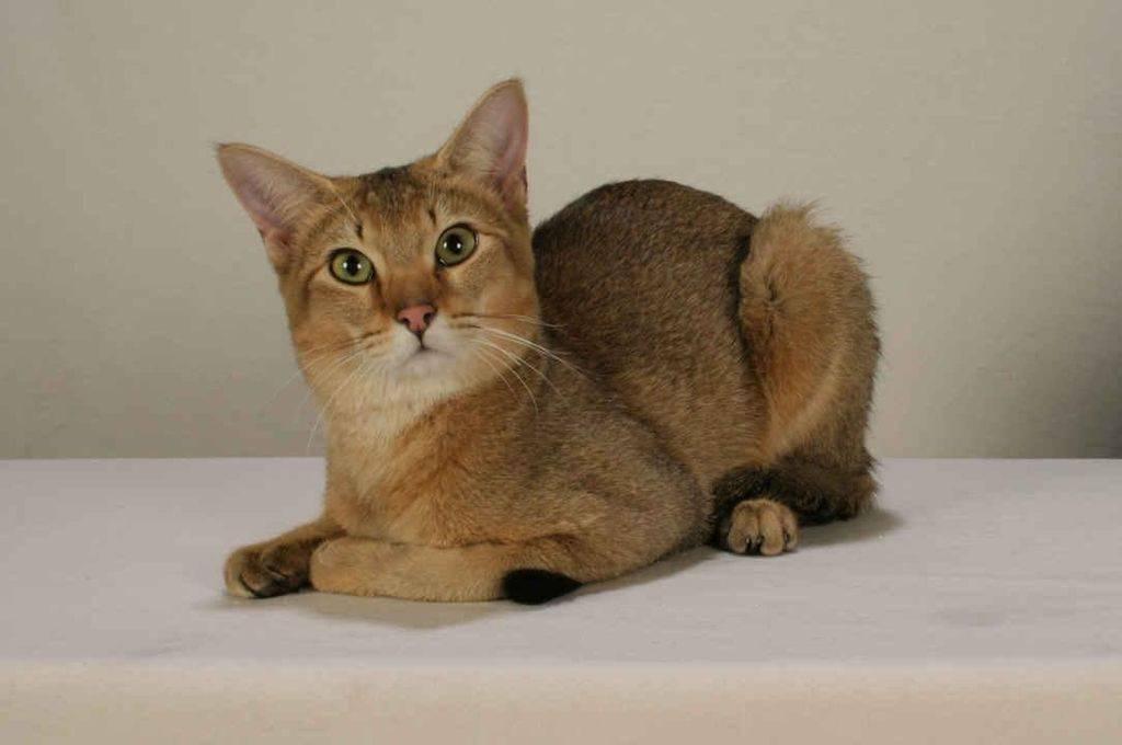 Цейлонская кошка: описание породы с фото — pet-mir.ru