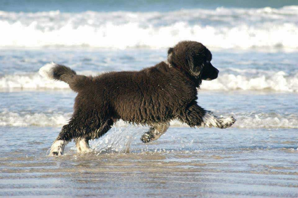 Ньюфаундленд и московский водолаз: характеристика собак.
