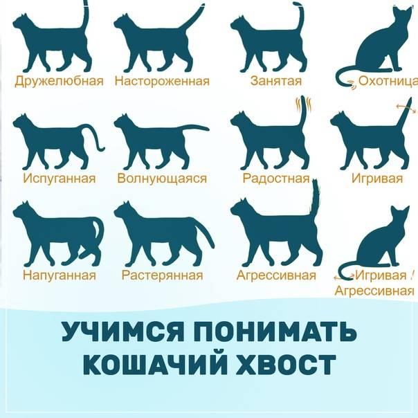 """О чем """"говорит"""" кошачий хвост: разбираем все положения - gafki.ru"""