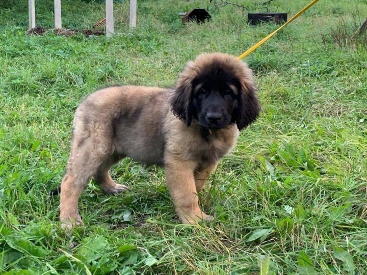 Грейхаунд: все о собаке, фото, описание породы, характер, цена