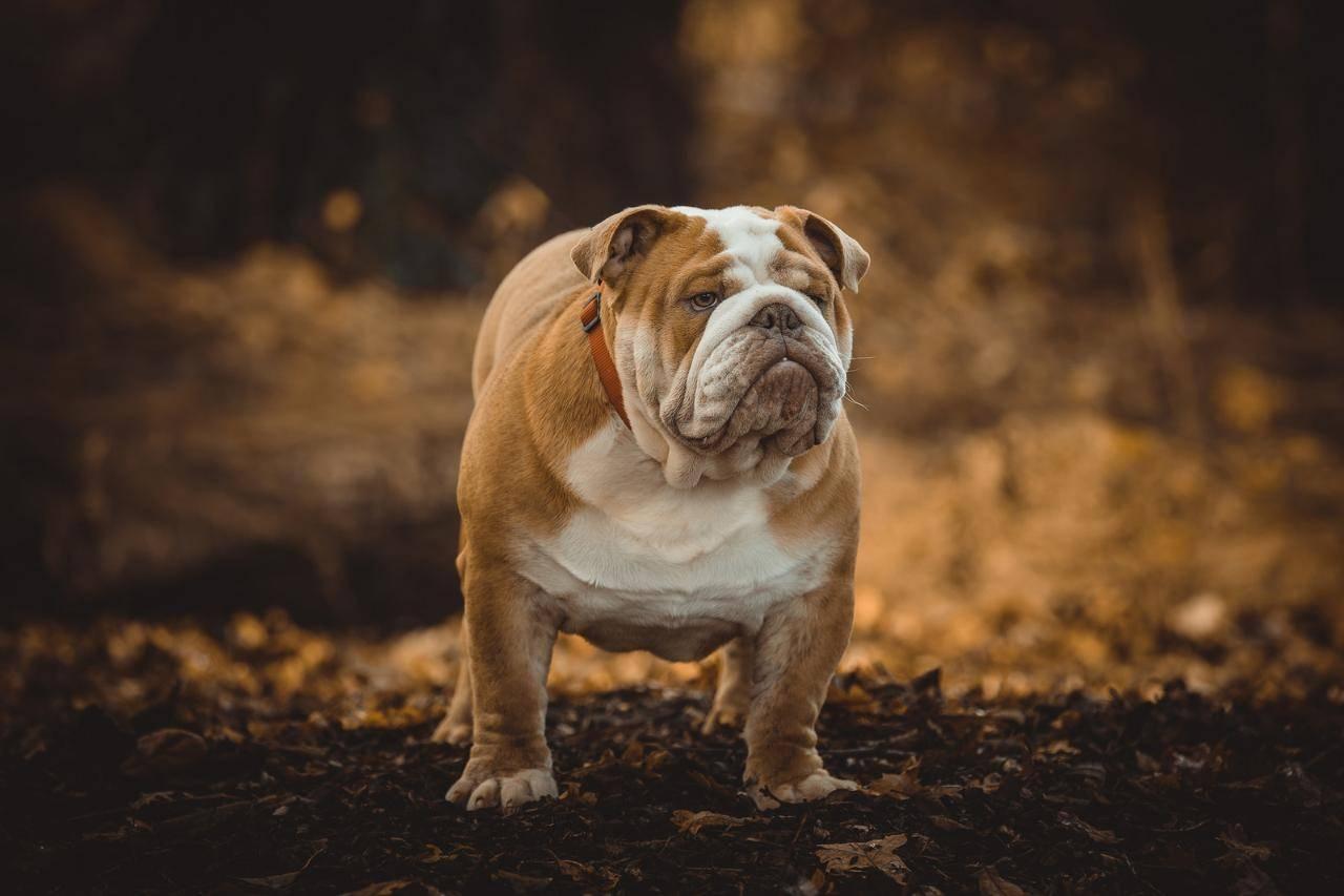 Английский бульдог: характер и описание породы собак, отличия от французского с фото, сколько стоит в рублях (цена щенков), сколько живут, реальные отзывы владельцев