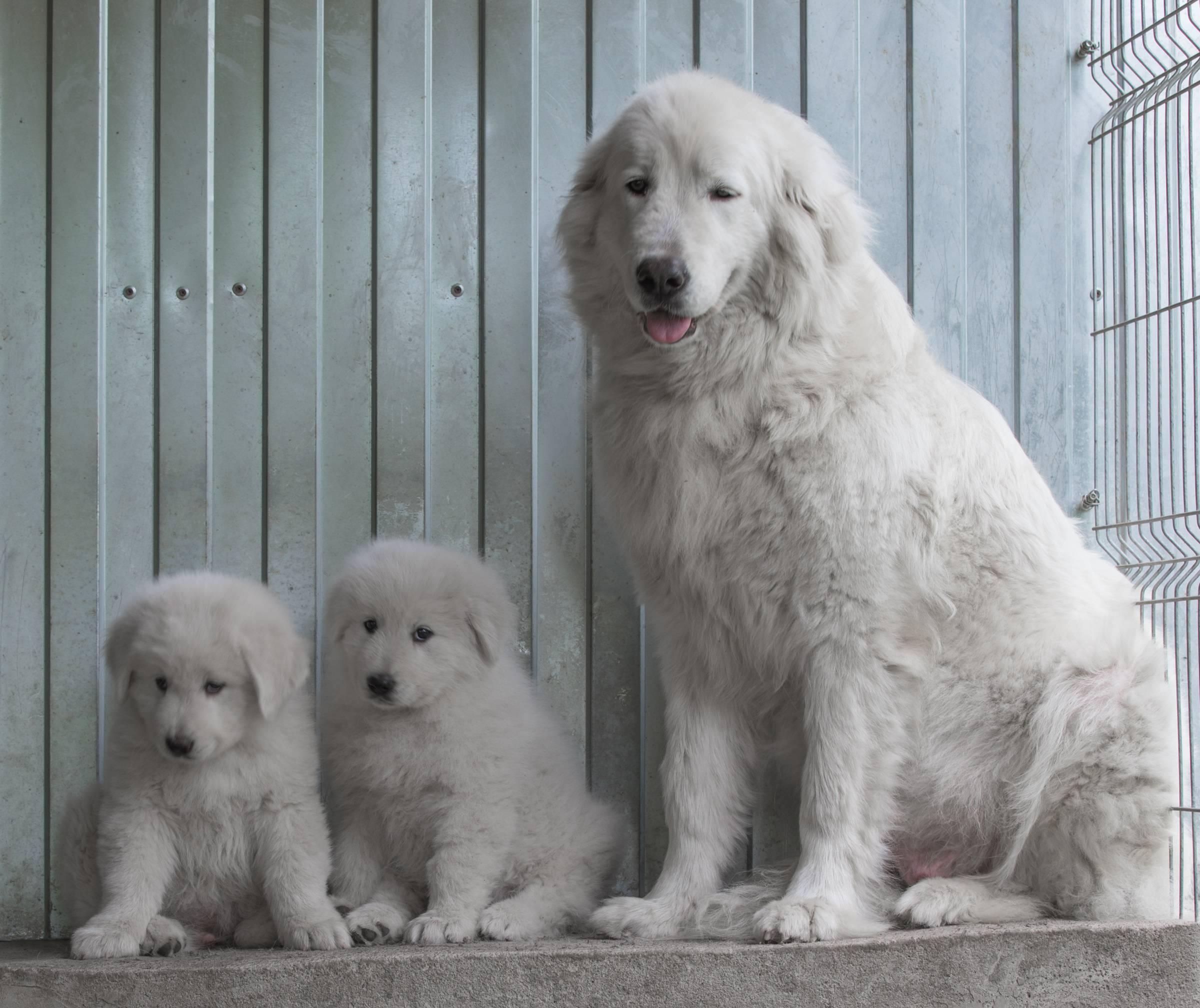 Маремма абруццкая овчарка: описание породы собак, уход за белой собакой