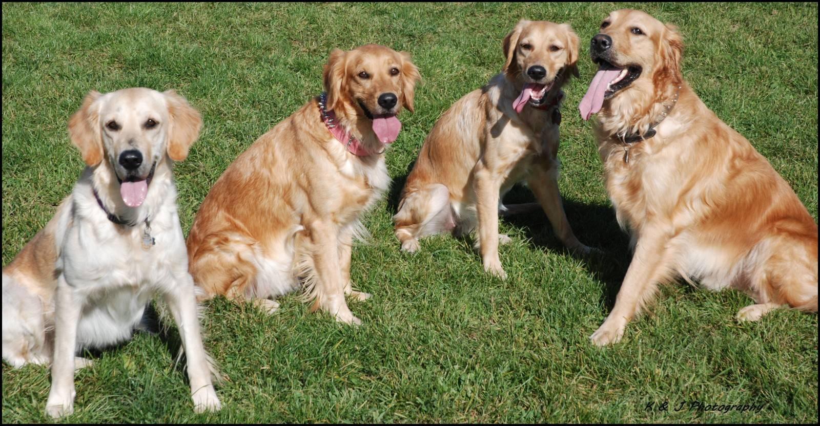 Порода собак ховаварт: описание внешнего вида, правила содержания и дрессировки, питомник щенков на урале