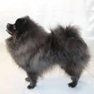 Особенности белого померанского шпица: фото собак, история появления, черты характера, правила ухода и выбор щенка