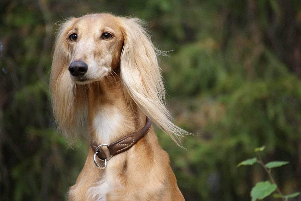 Салюки (персидская борзая) собака: фото и видео, описание, цены