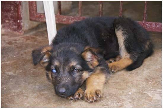 Эффективные способы лечения аденовироза у собак