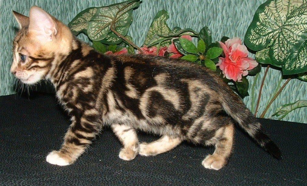 Черепаховая кошка - энциклопедия про кошек и собак