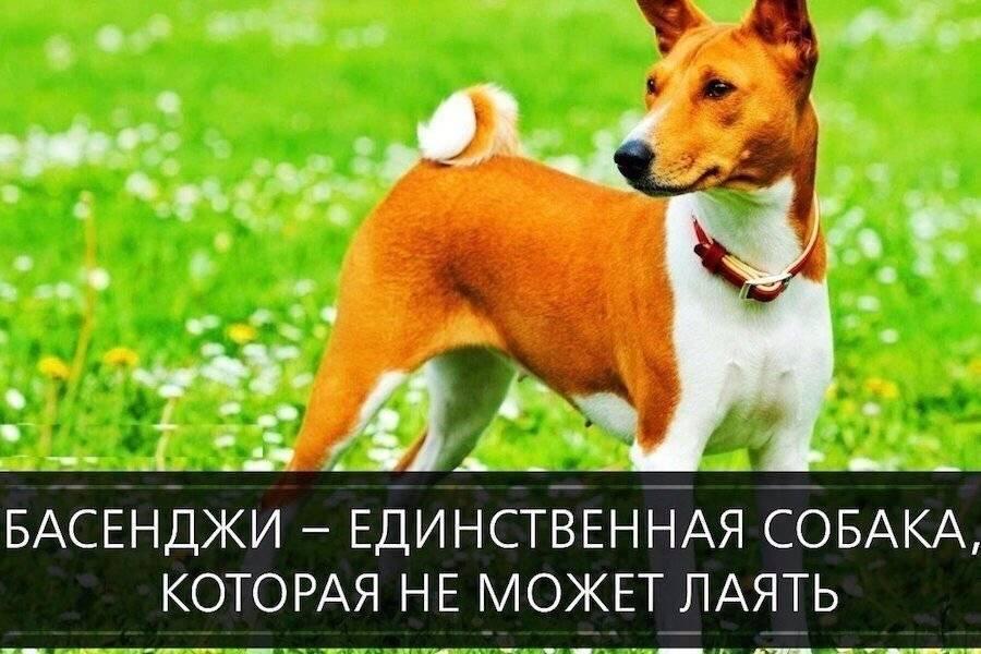 Собаки, которые не лают: фото, описание, названия