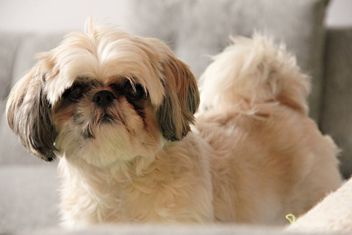 Ши-тцу - порода собак - информация и особенностях   хиллс