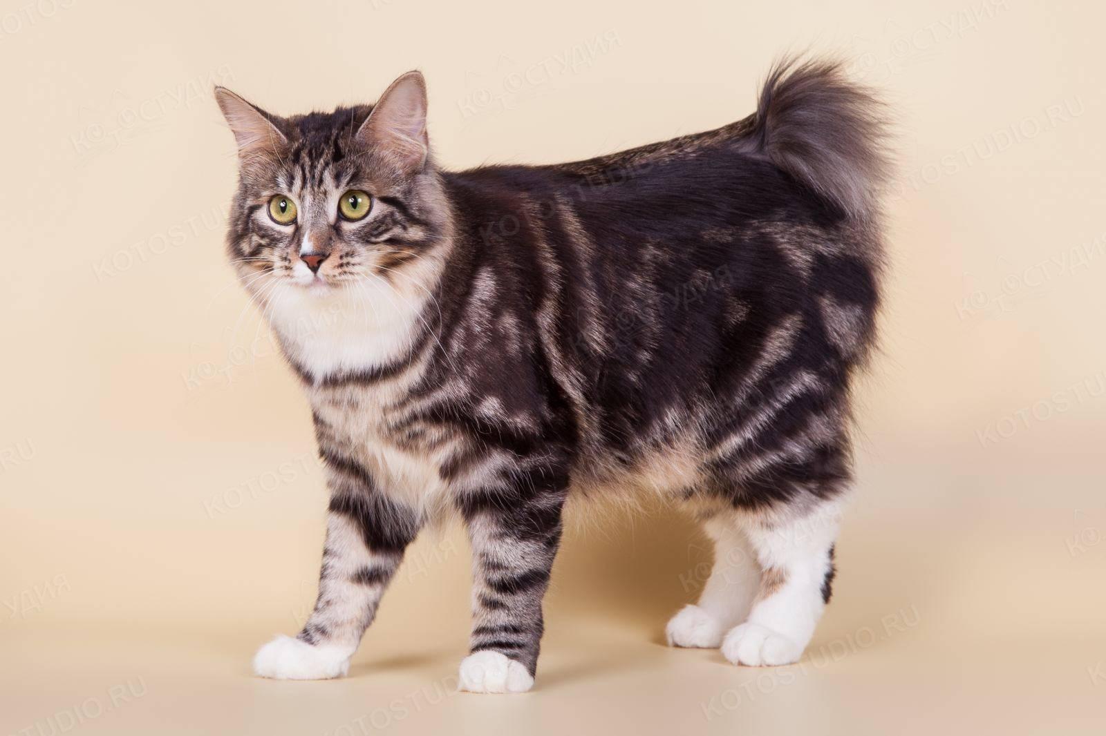 Курильский бобтейл. о породе кошек: описание породы курильский бобтейл, цены, фото, уход