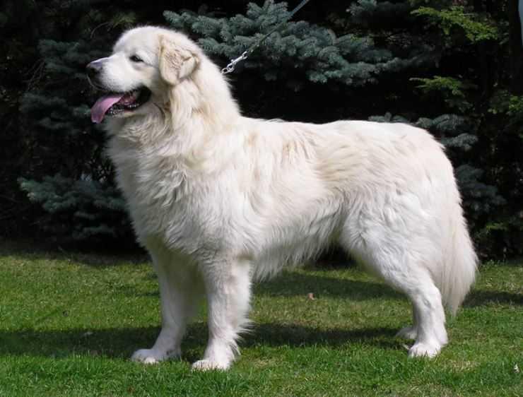 Венгерский кувас: фото собаки и характер породы