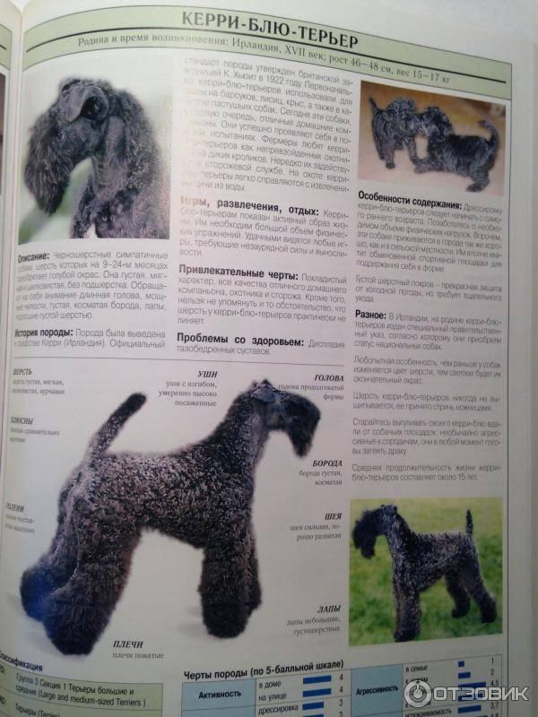 Керри блю терьер: фото собак,особенности породы, отзывы владельцев