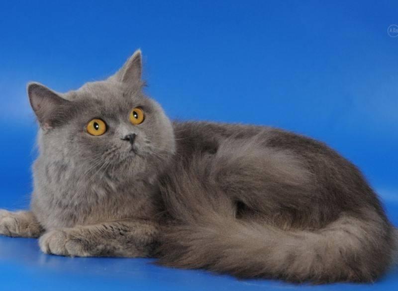 Хайленд страйт (шотландская прямоухая длинношерстная кошка)