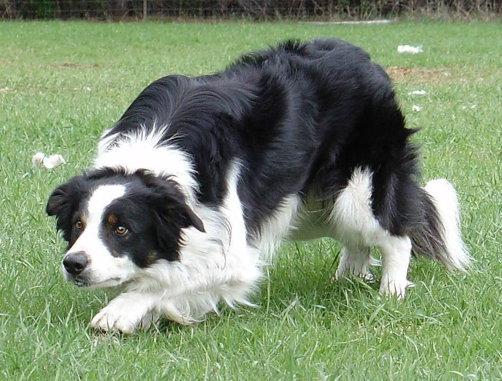 Какие породы собак относятся к пастушьим: список, названия, характеристики