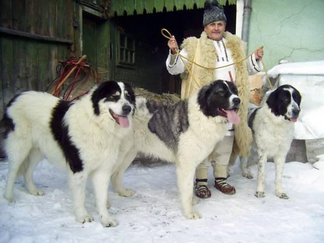 Черная румынская овчарка характеристика породы. румынская карпатская овчарка (фото, видео, описание)