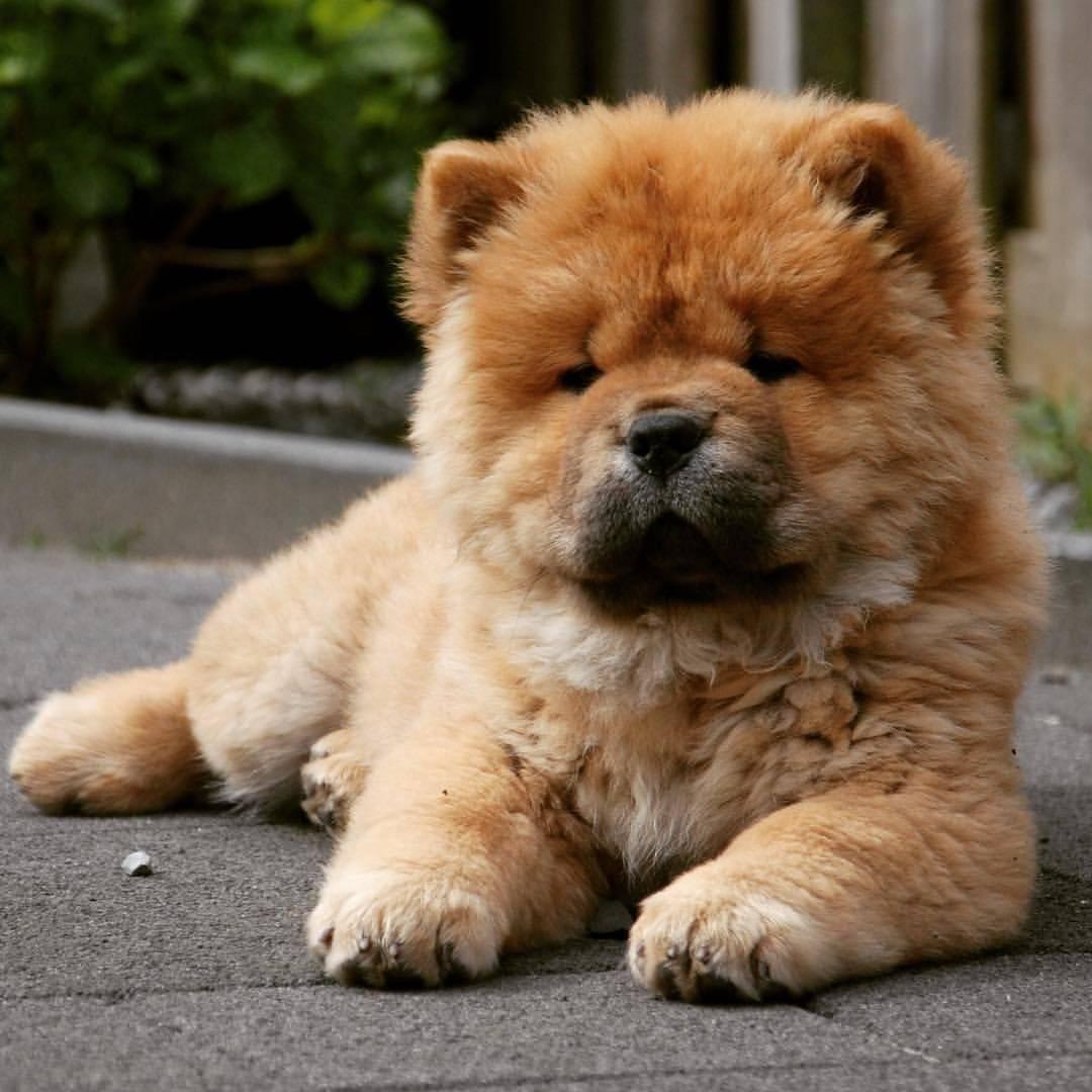 Собака, похожая на медвежонка — порода