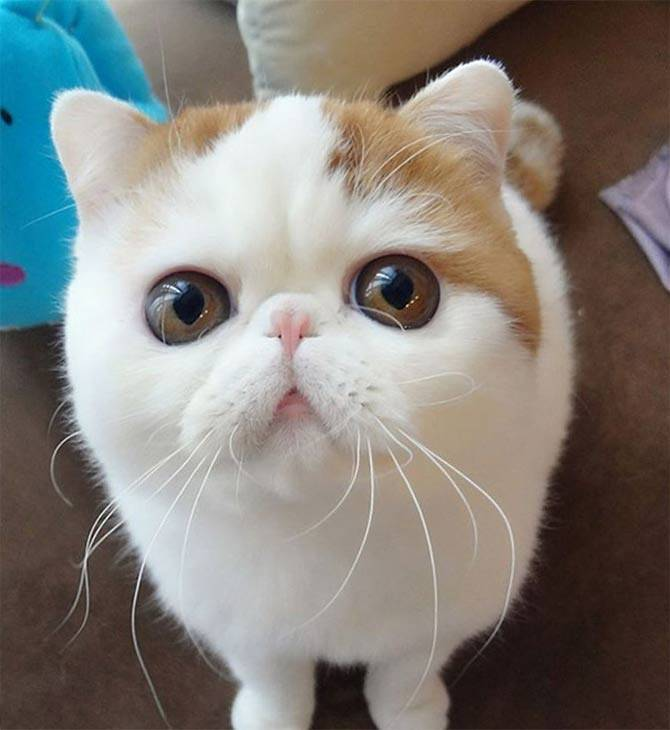 Экзотическая кошка (84 фото): описание короткошерстных и длинношерстных котов породы экзот, характер котят. особенности ухода